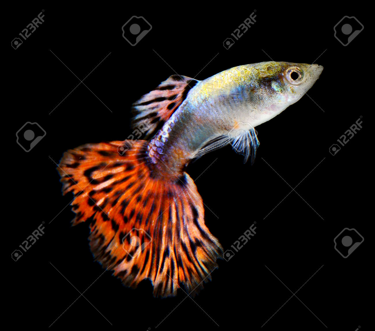 guppy fish isolated on white background stock photo picture and