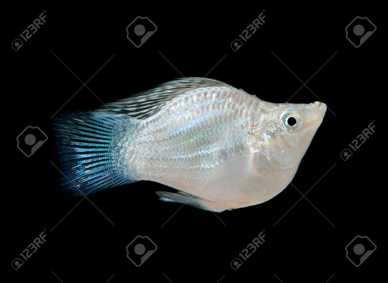 Balloon Silver Molly Fish On Black Stock Photo Picture And Royalty Free Image Image 38608174