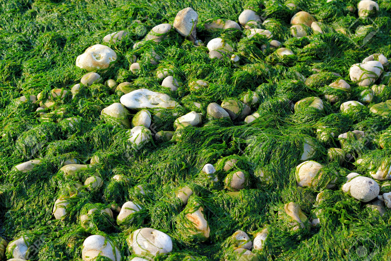 Wet Seaweed and pebbles Stock Photo - 24804272