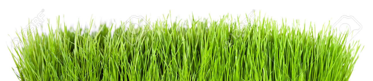 Panorama of green grass in front of white background Stock Photo - 9539893
