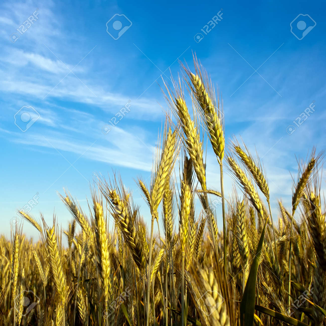a grain-field in front of blue sky Stock Photo - 9864815