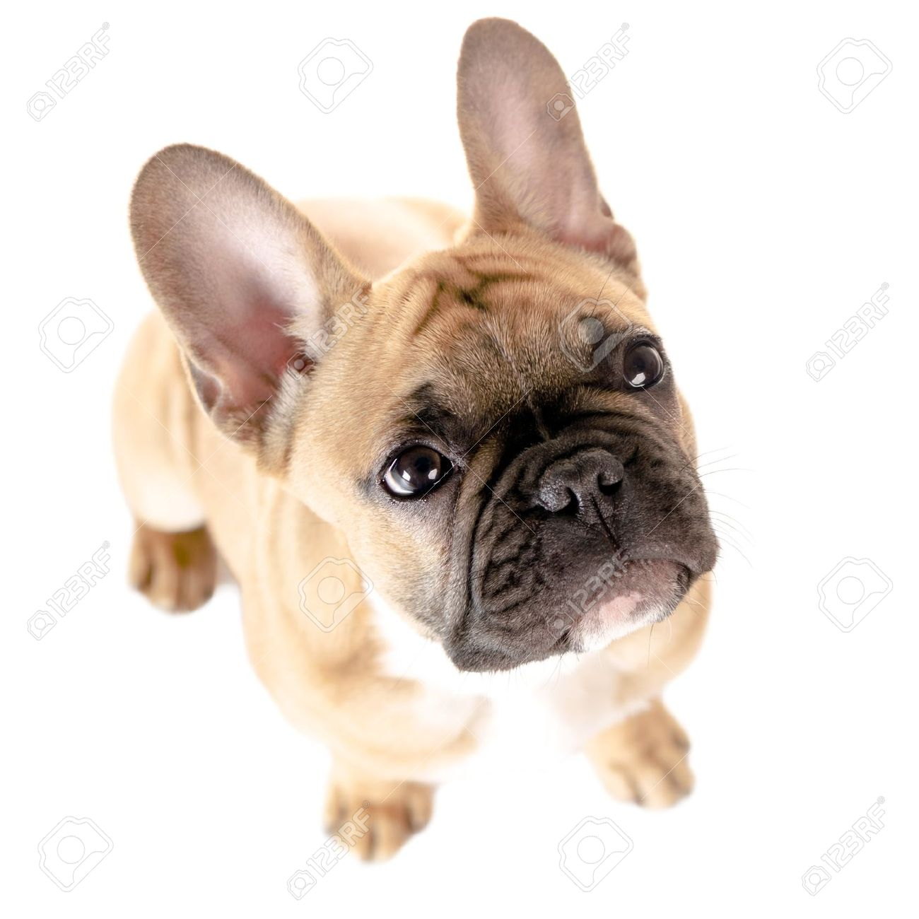 Light Brown French Bulldog Before White Background Stock Photo Picture And Royalty Free Image Image 21496100