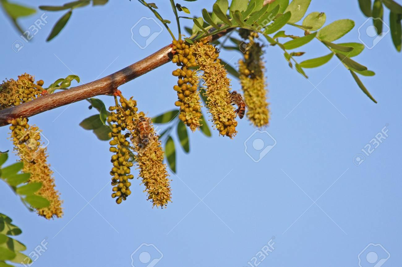 miel d'acacia arbre