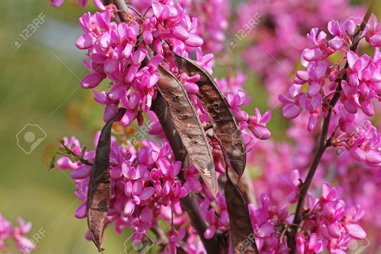 Judas Tree Latin Name Circis Siliquastrum With Purple Or Shocking