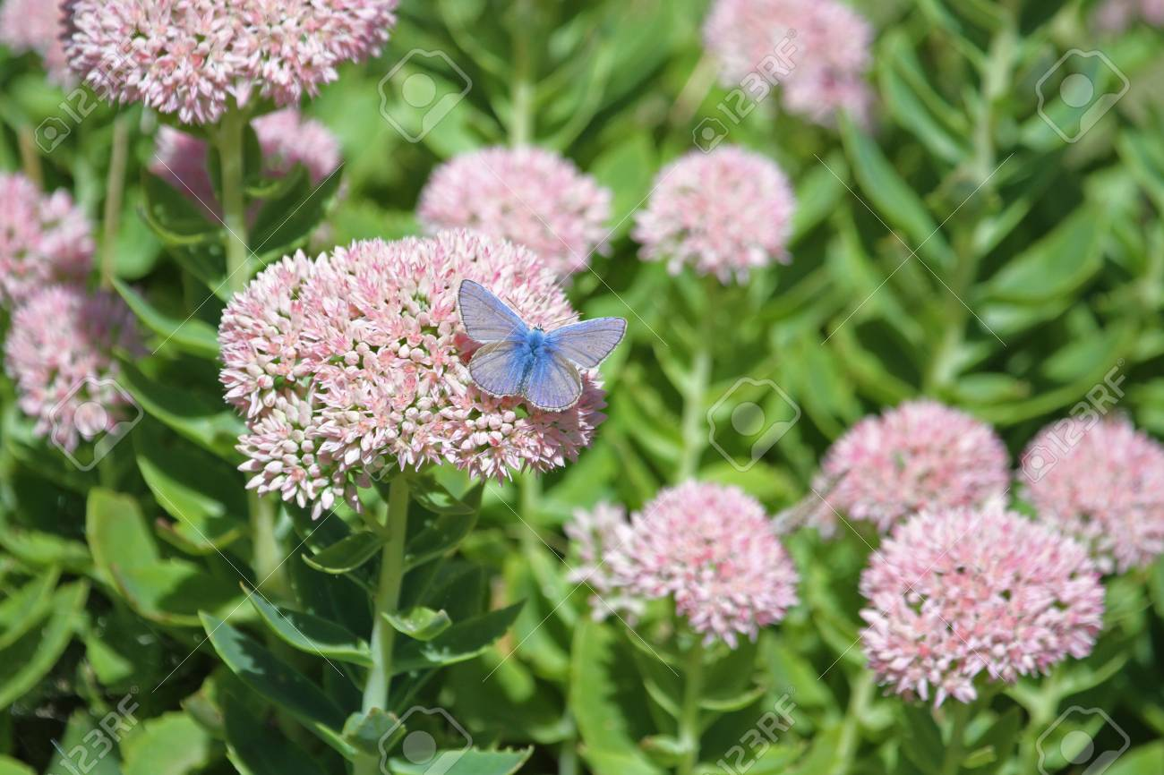 Common Blue Butterfly Showing Full Blue Colour Color Latin Name ...