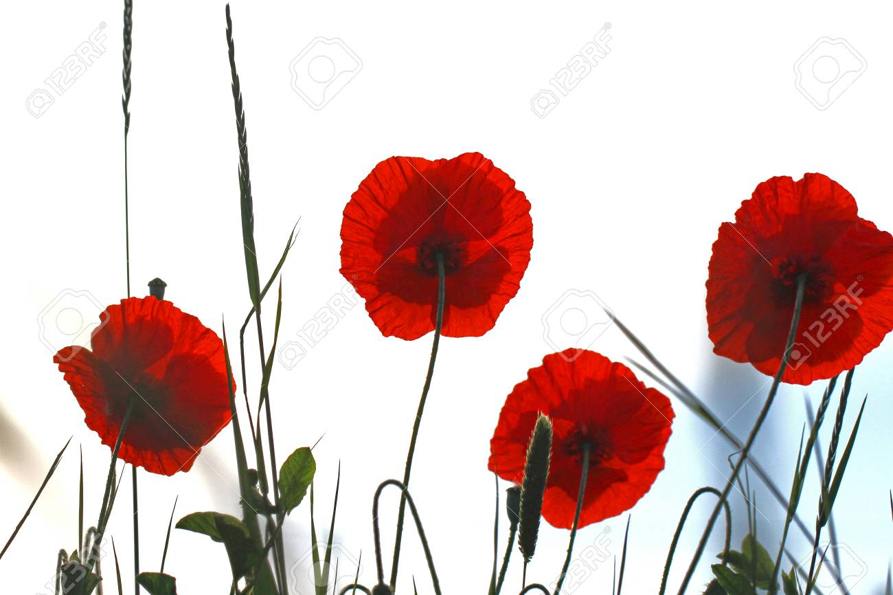 Poppy Flowers With The Light Behind Latin Name Papaver Dubium