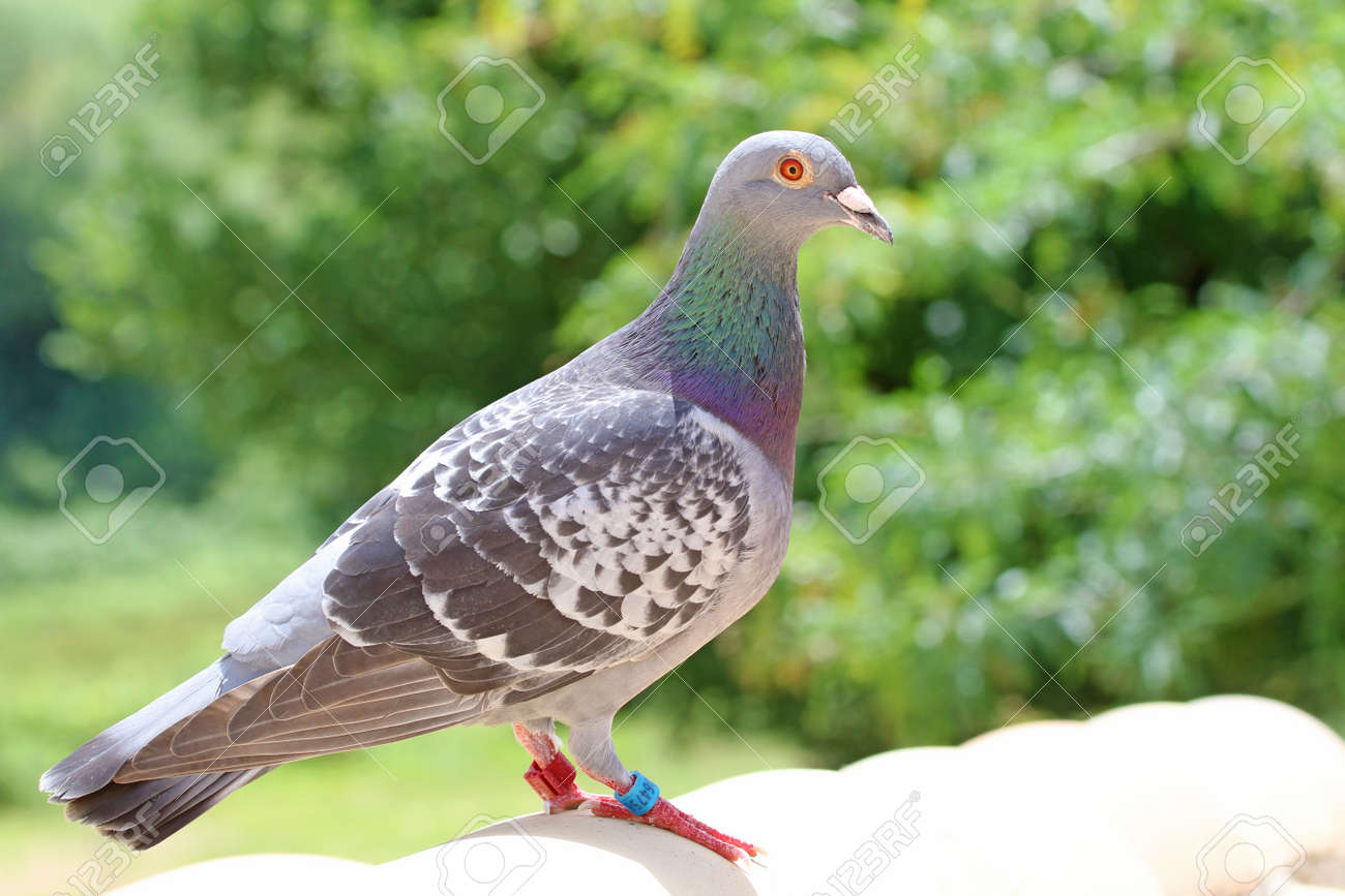 homing pigeon, racing pigeon or domestic pigeon Latin columba