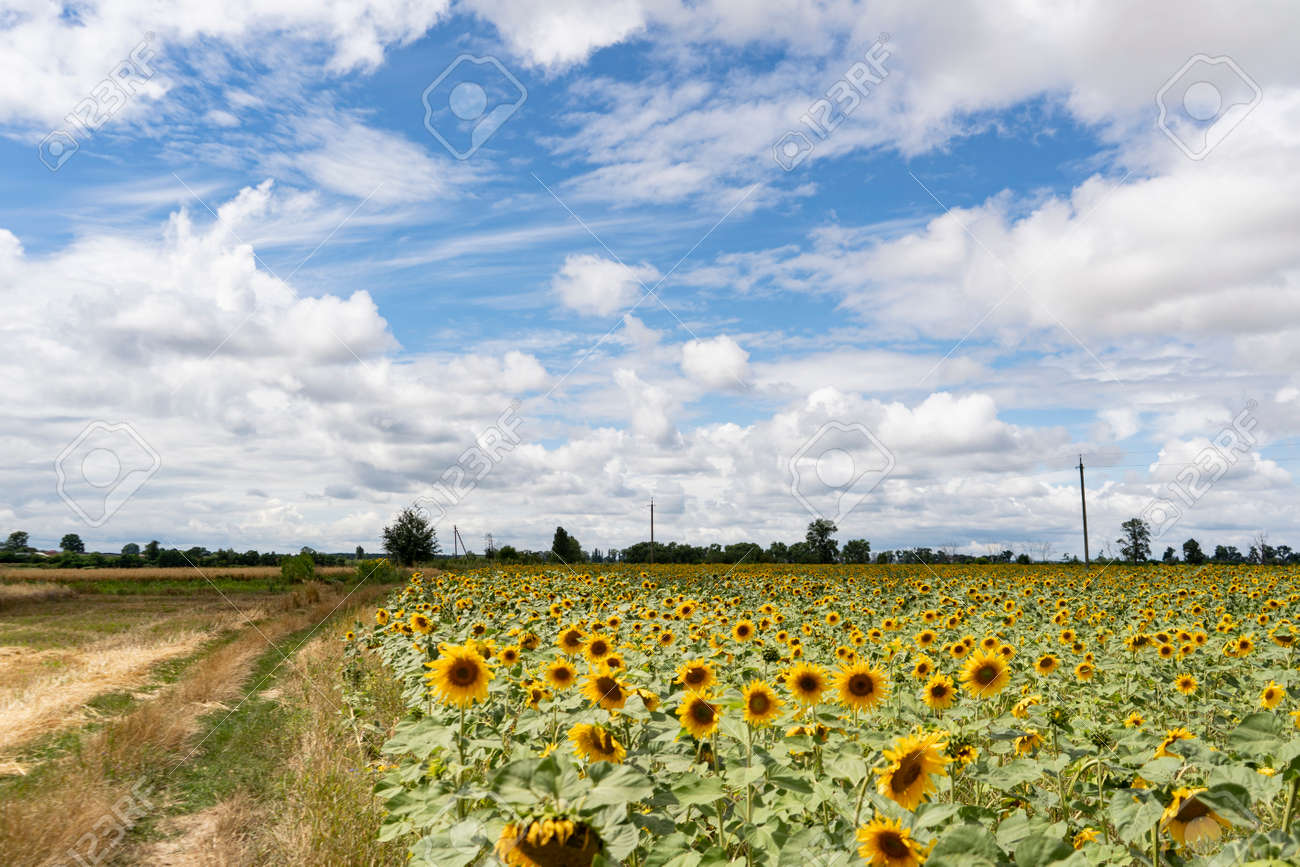 Sunflower field on a cloudy day - 153349398