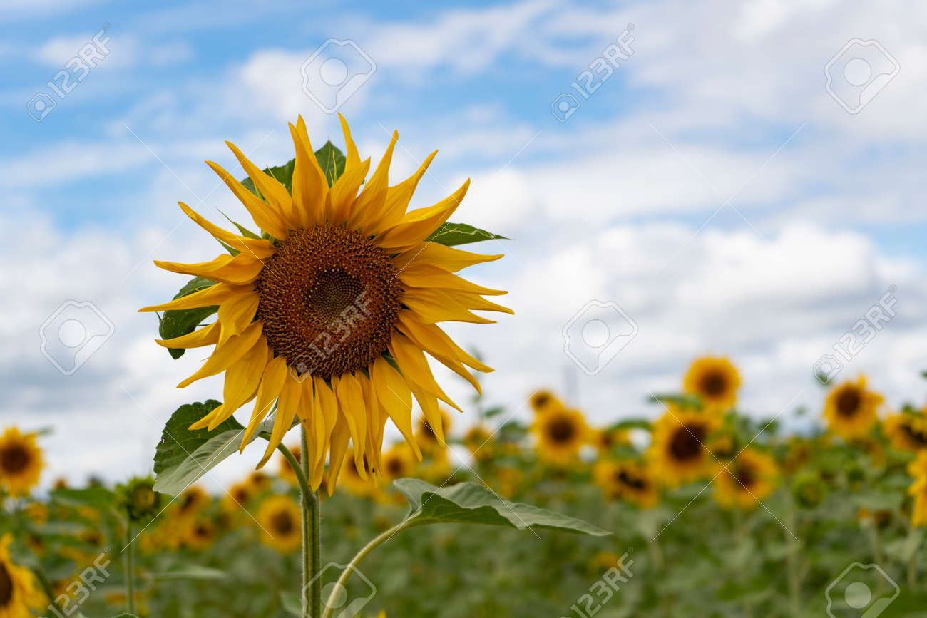 Sunflower field on a cloudy day - 153349496