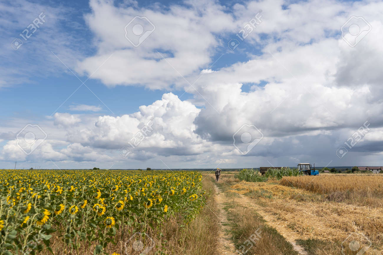 Farmer in the field harvests - 153349502