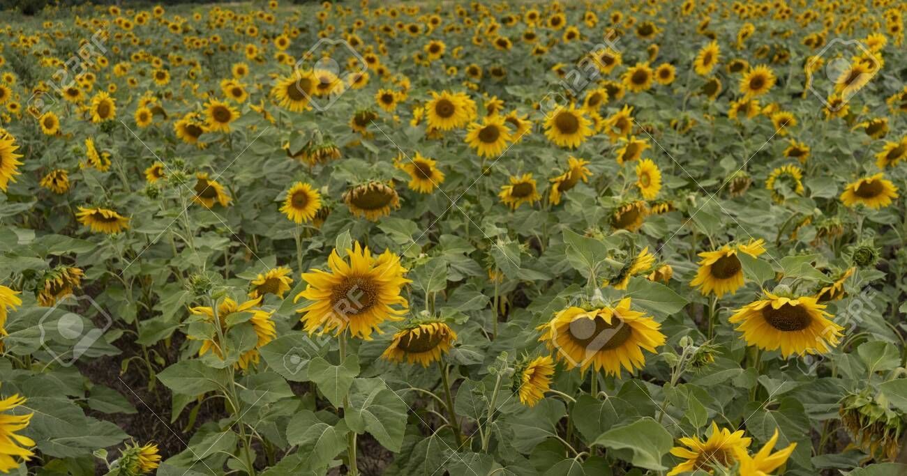 Sunflower field on a cloudy day - 153349554
