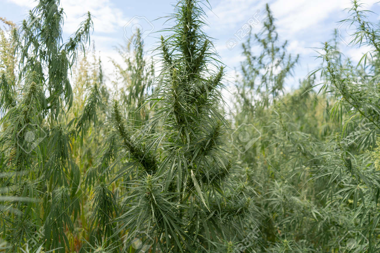 Marijuana plantation, marijuana bloom, sunny day - 153349666