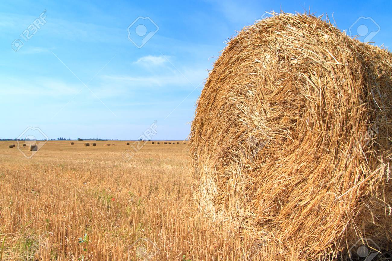 Golden Straw Stubble Field In Autumn Stock Photo, Picture And Royalty Free  Image. Image 97274107.