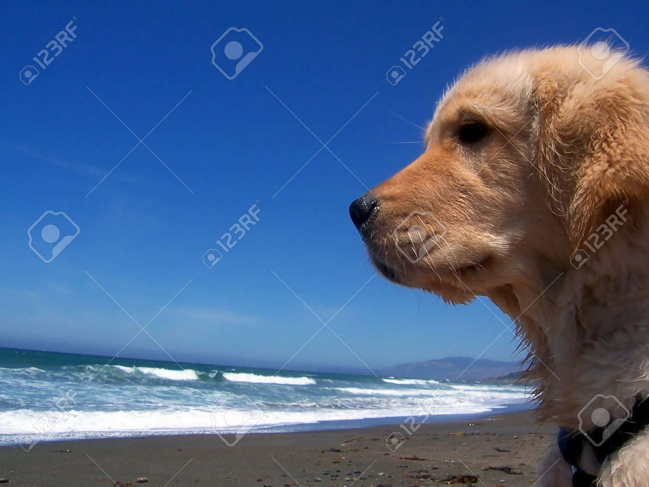 Golden Retriever Puppy Side View At The Beach Stock Photo Picture And Royalty Free Image Image 4612918