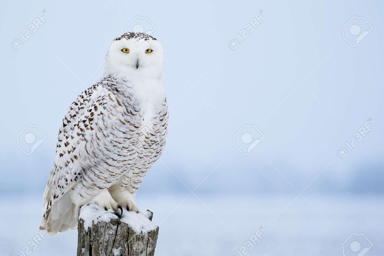 snowy owl stock photos royalty free snowy owl images