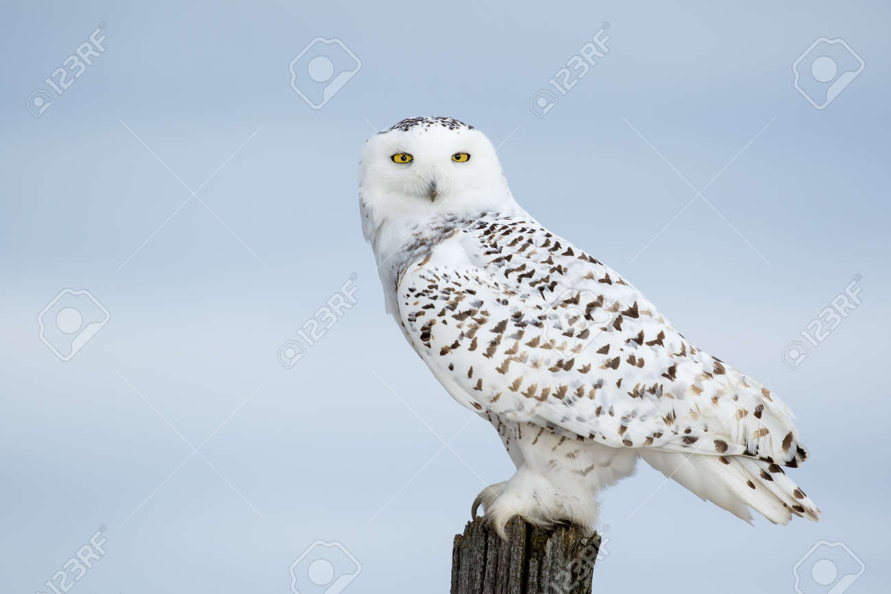 Snowy Owl, Bubo Scandiacus, perched on a post making eye contact with piercing yellow eyes. - 54784995