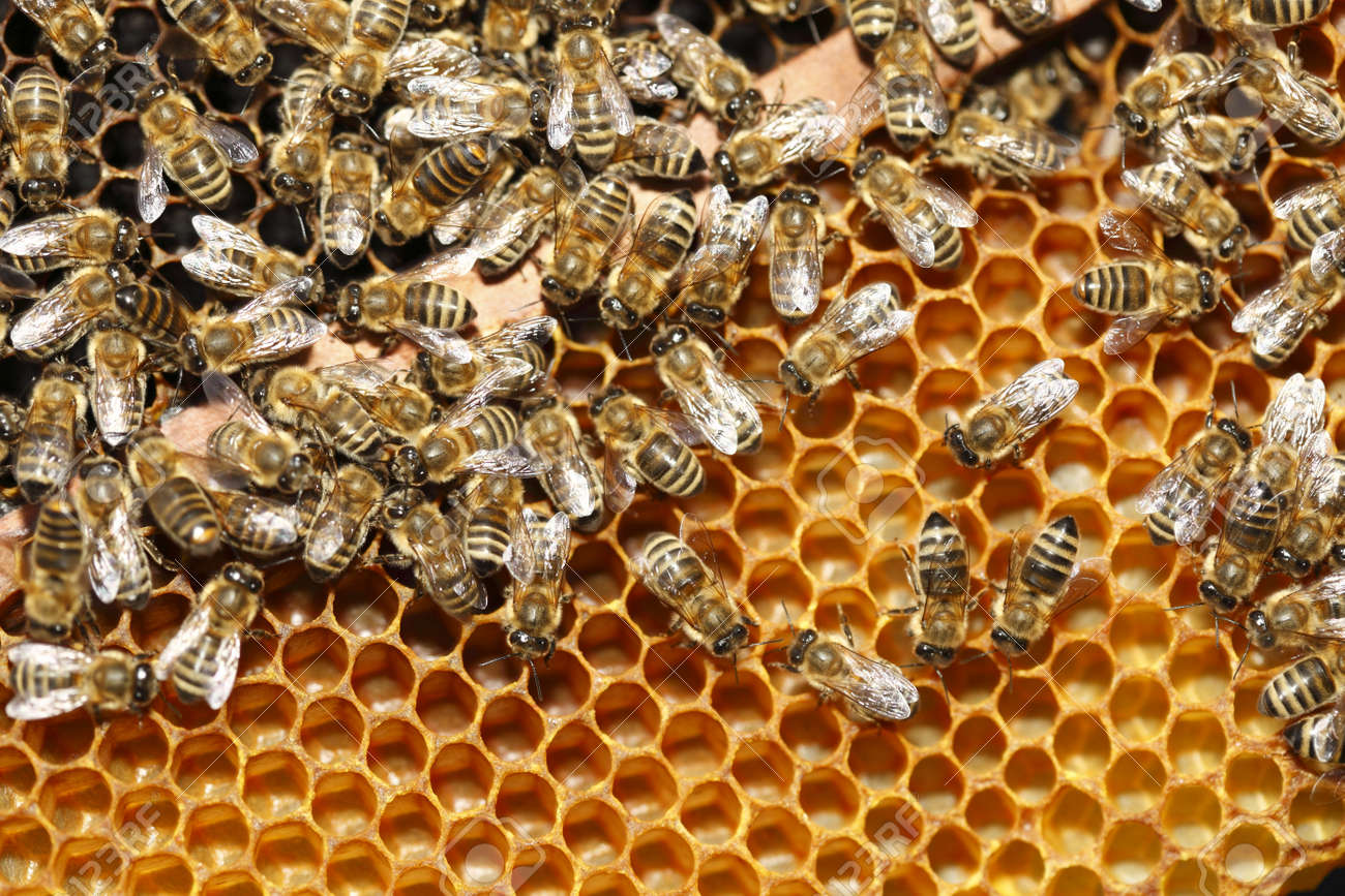 Close up view of the working bees on honeycells Stock Photo - 10190659