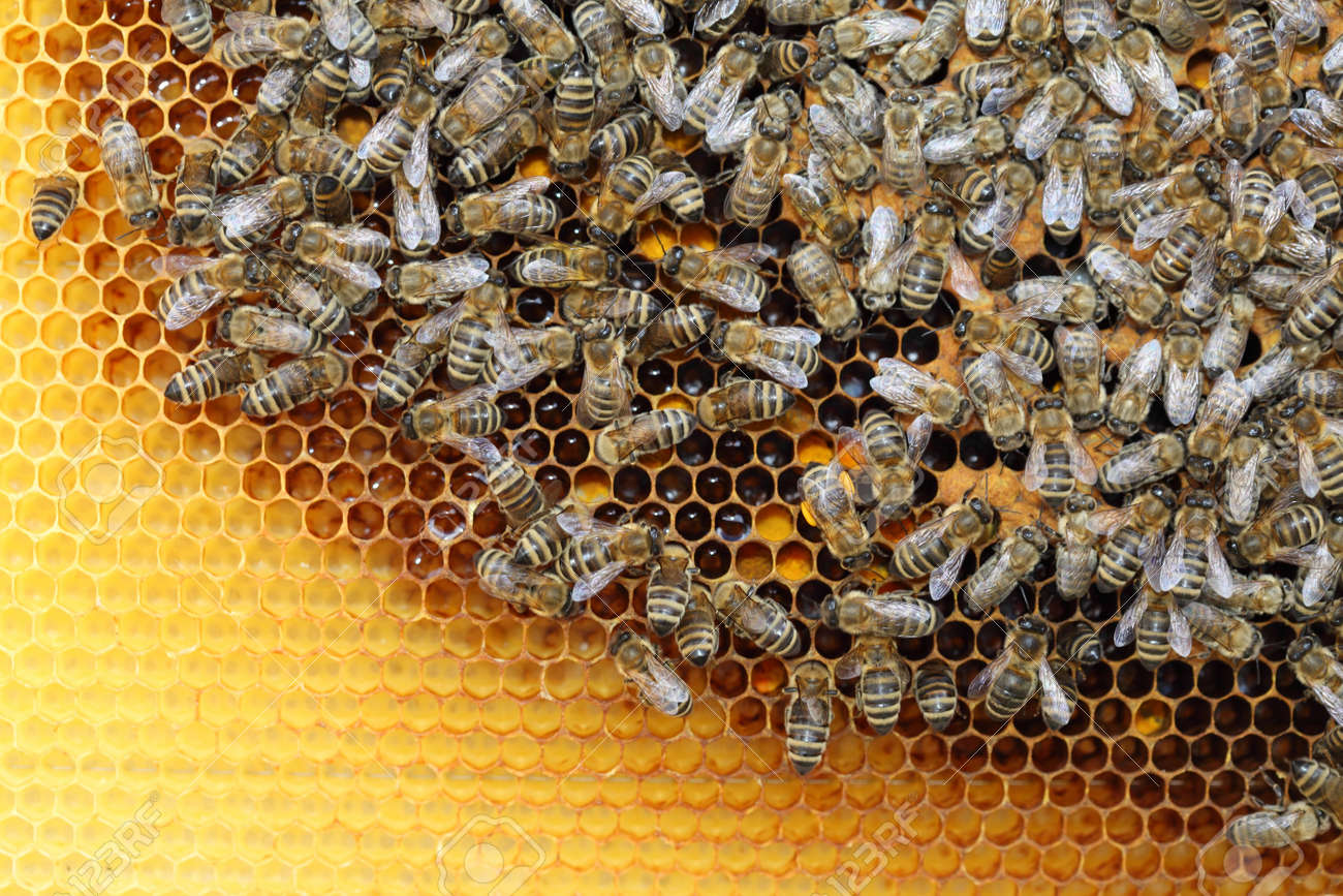Bees inside a beehive with honey comb Stock Photo - 13545883