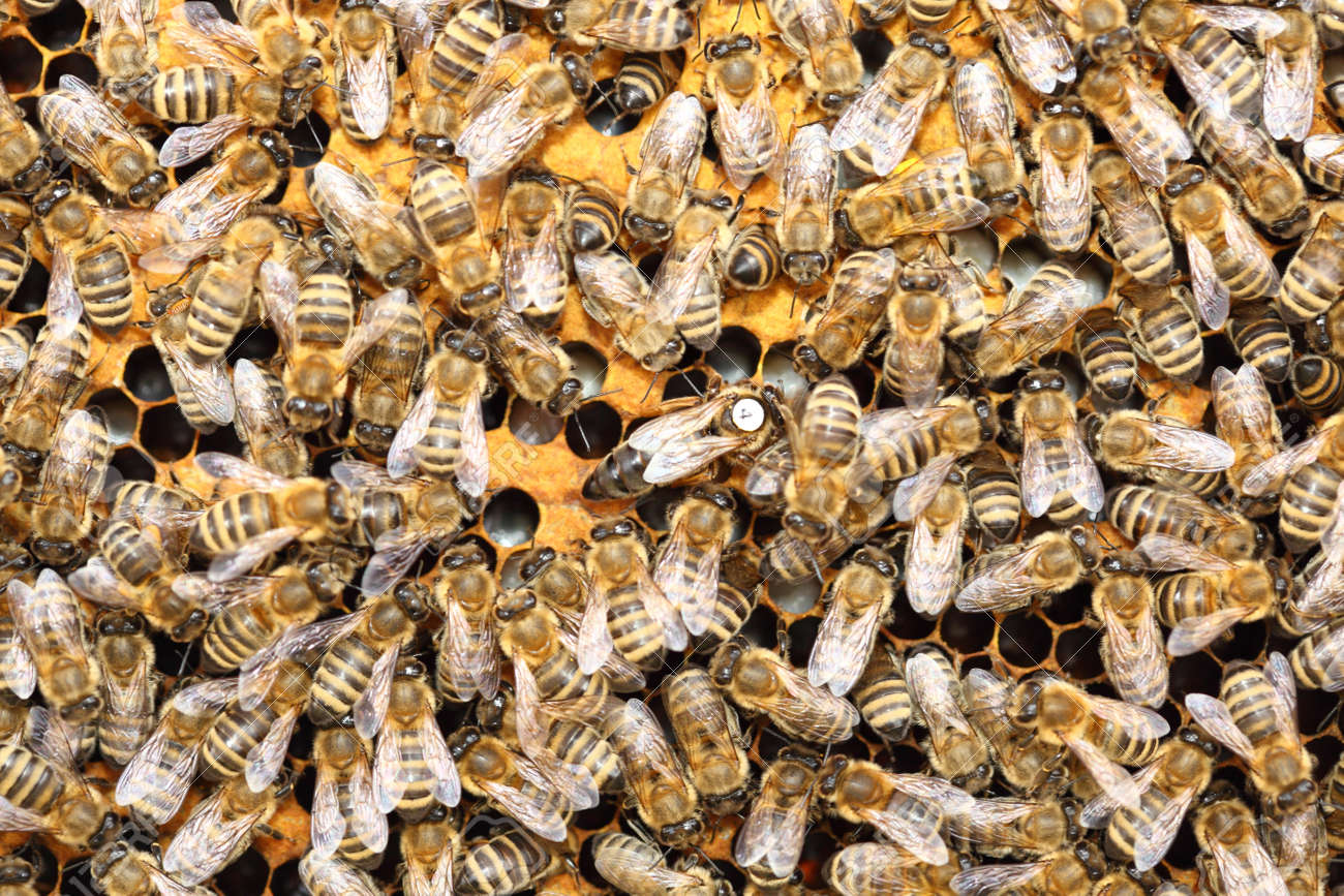 Bees inside a beehive with the queen bee in the middle Stock Photo - 13545884