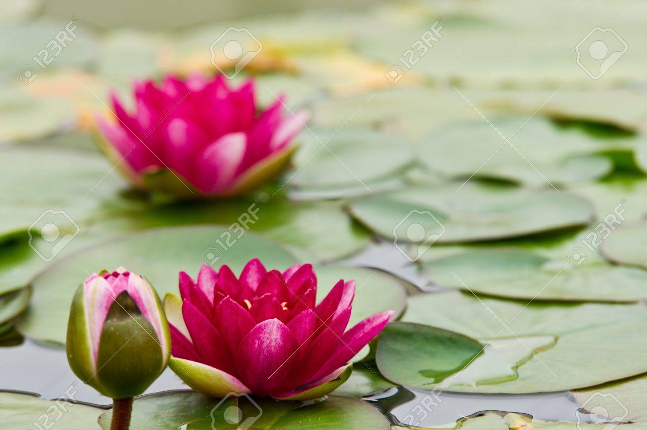 Lily pad and flower stock photo picture and royalty free image lily pad and flower stock photo 10064589 izmirmasajfo