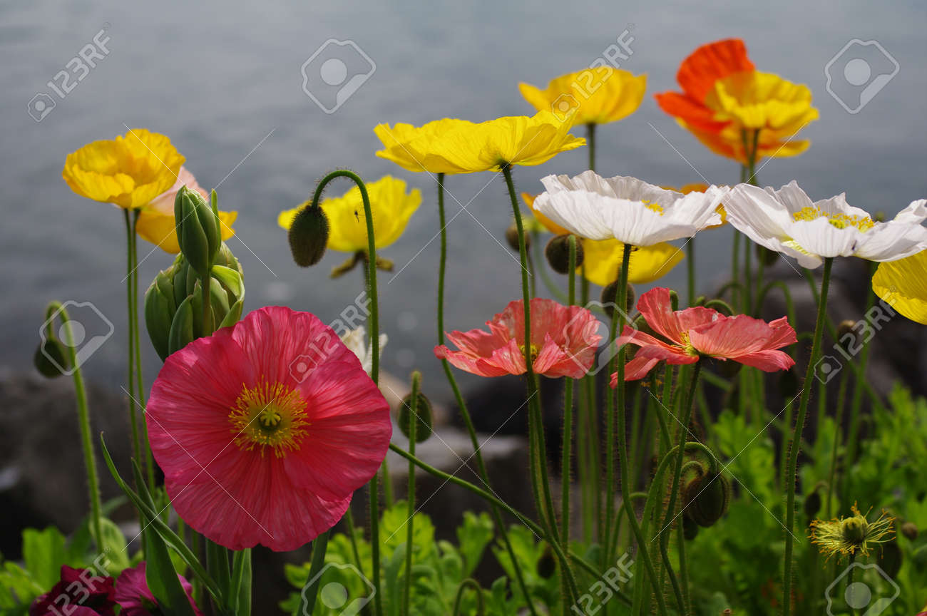 Poppy flowers in many kind of colors stock photo picture and poppy flowers in many kind of colors stock photo 20901530 mightylinksfo