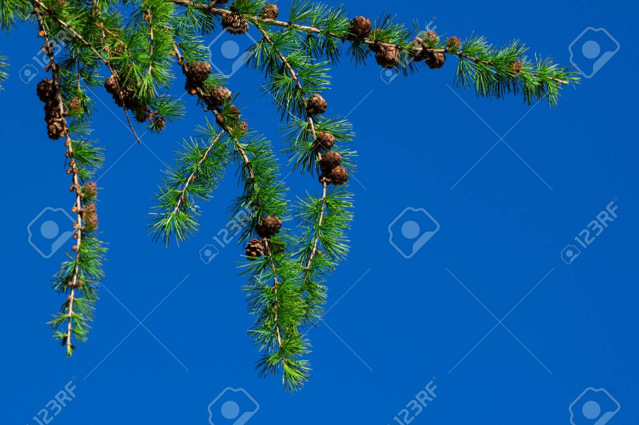 Pine tree and cones over blue sky Stock Photo - 13793912
