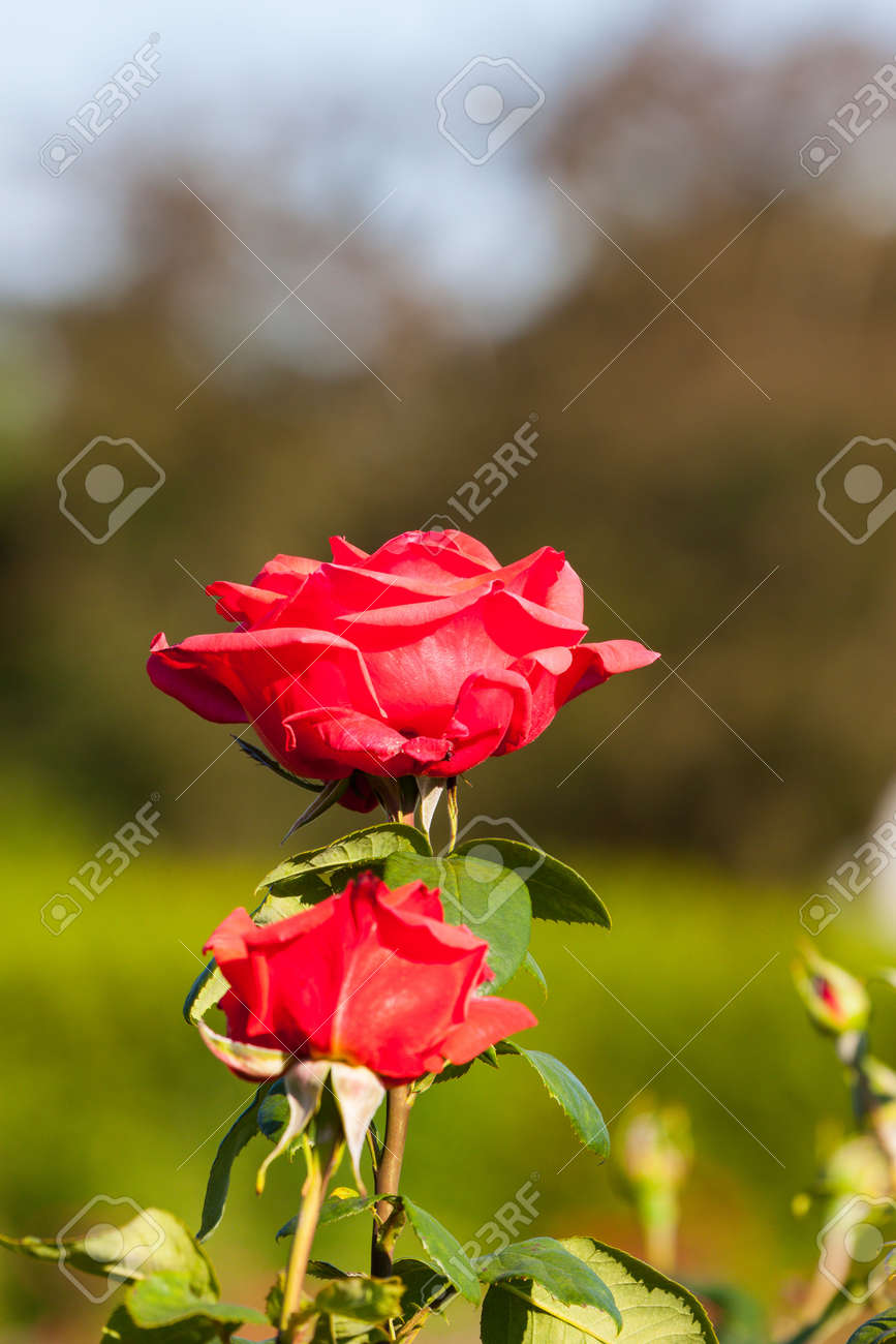 Red Rose on the Branch in the Garden at sunset Stock Photo - 14894345