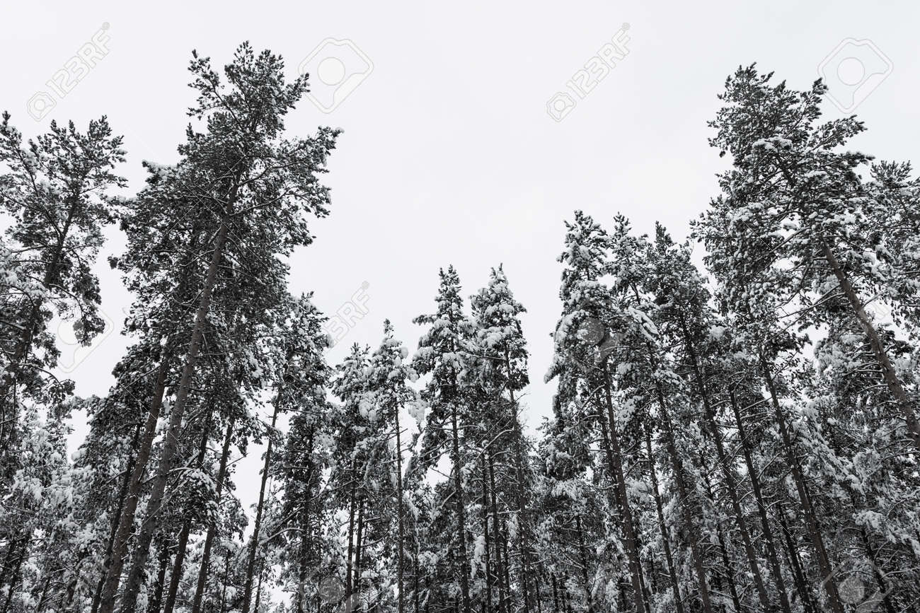 Winter Pine Forest With Snow On Trees Black And White Image Stock