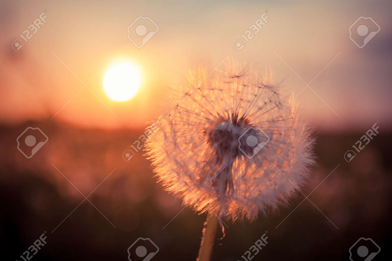 Dandelions in meadow at red summer sunset - 20193514