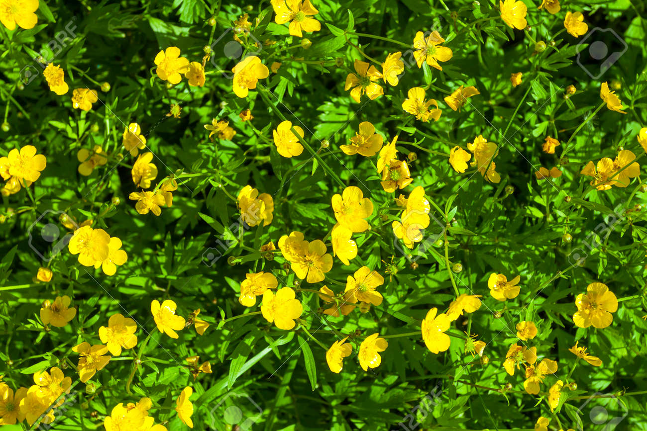 Ranunculus Acris Meadow Buttercup Tall Buttercup With Her Stock