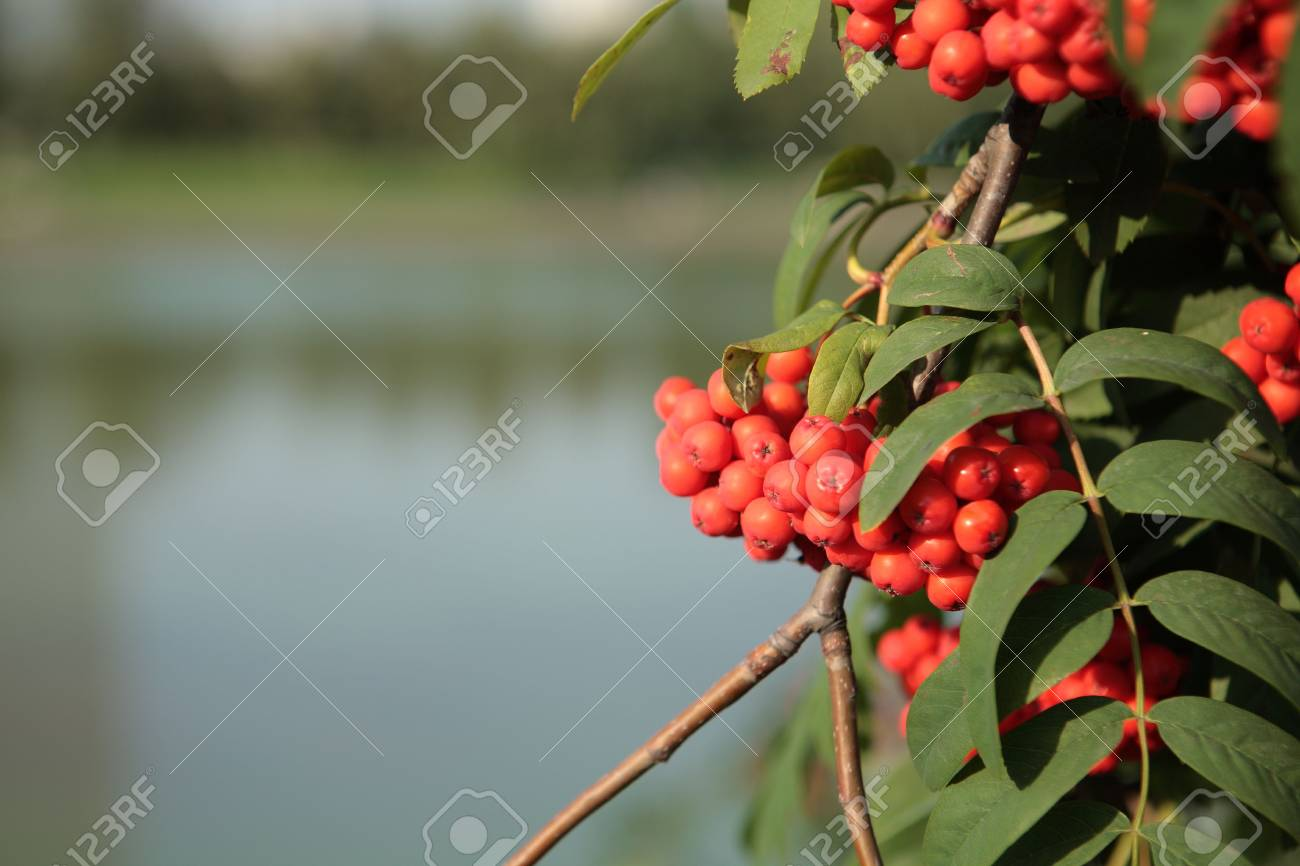 ashberry with leafs on water background Stock Photo - 3410187
