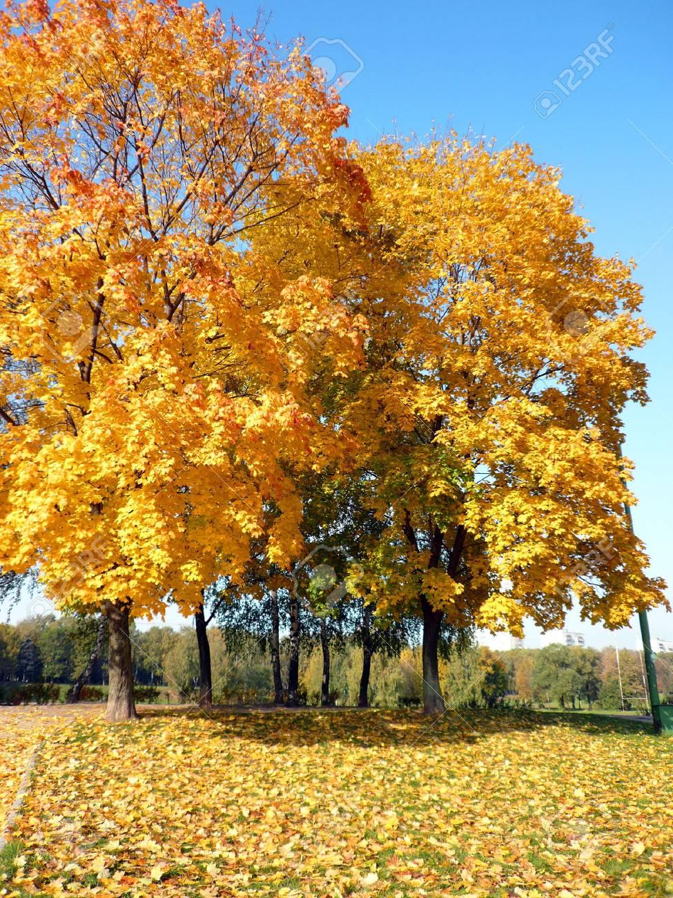yellow maple alley at autumn Stock Photo - 3674030