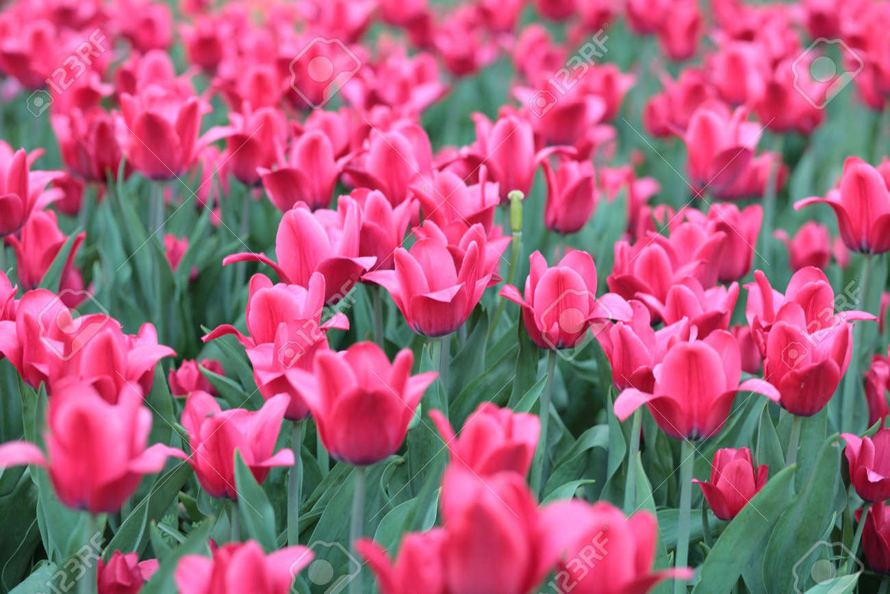 red tulip at spring on Earth Stock Photo - 4125328