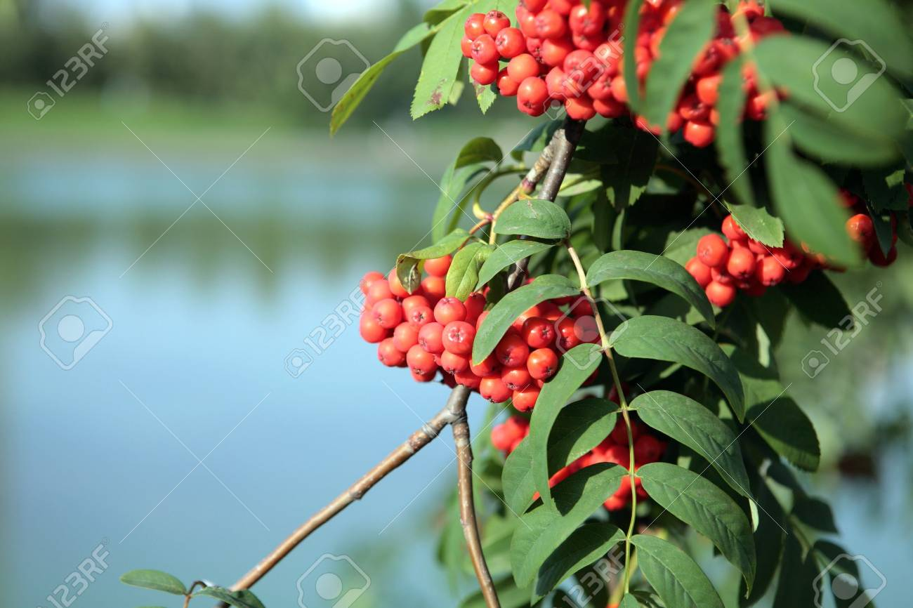 ashberry with leafs on water background Stock Photo - 5558168