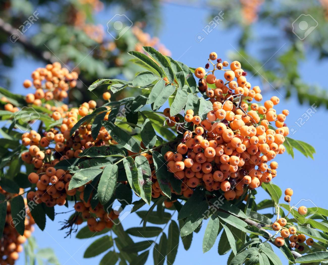 ashberry at dry sunny day Stock Photo - 7978867