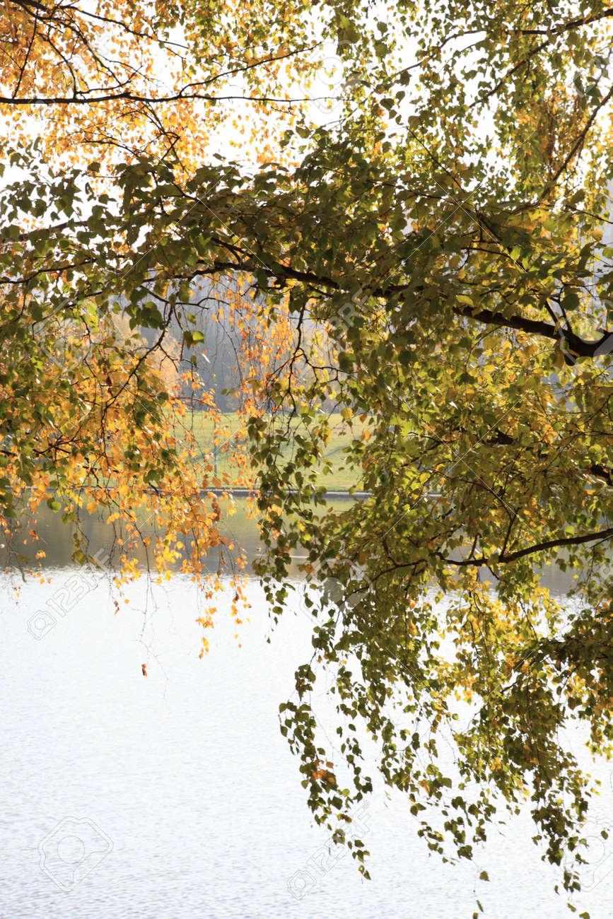 birch at autumn Stock Photo - 14049926