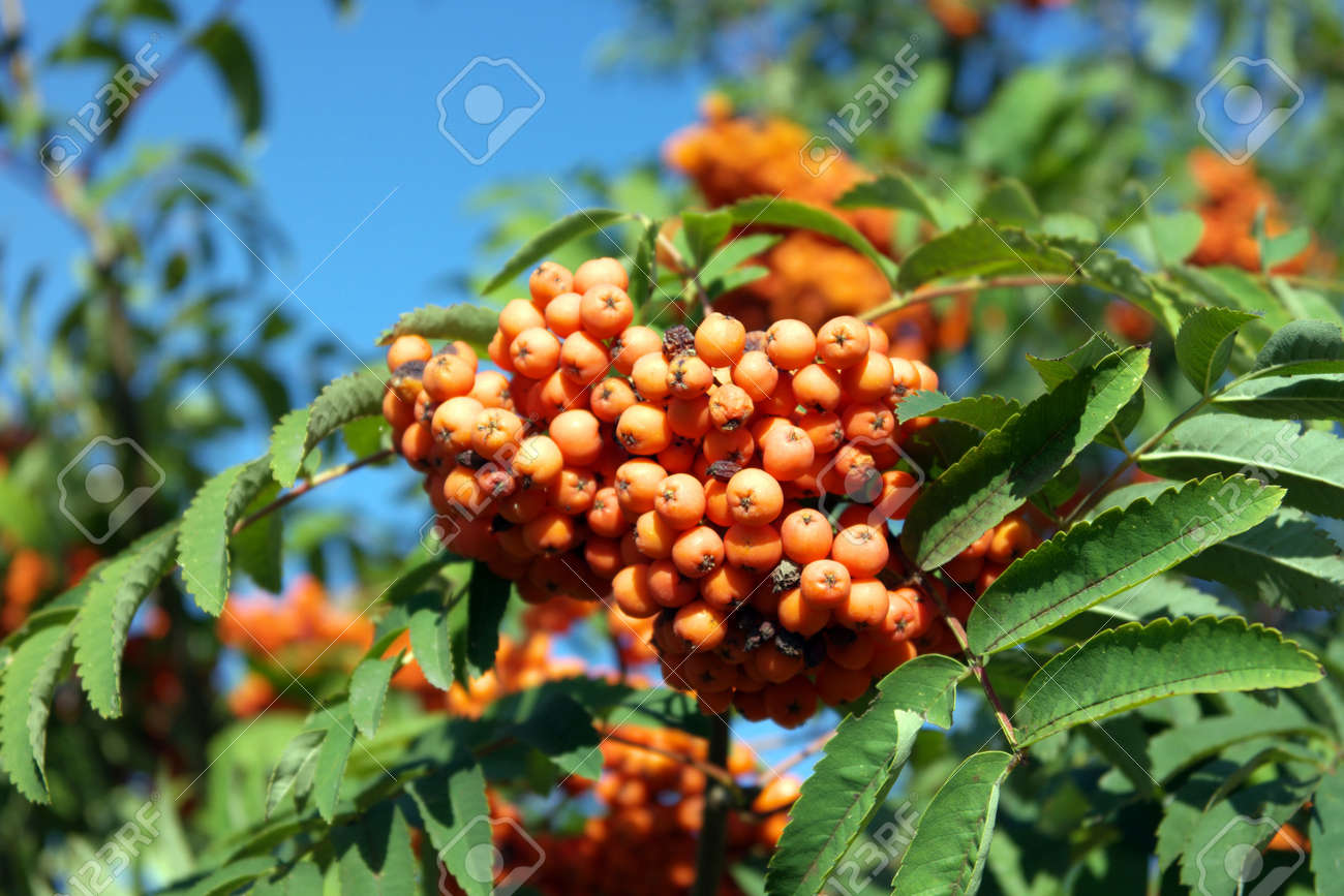 ashberry at dry sunny day Stock Photo - 15077152