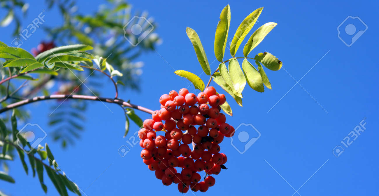 ashberry at dry sunny day Stock Photo - 15096565
