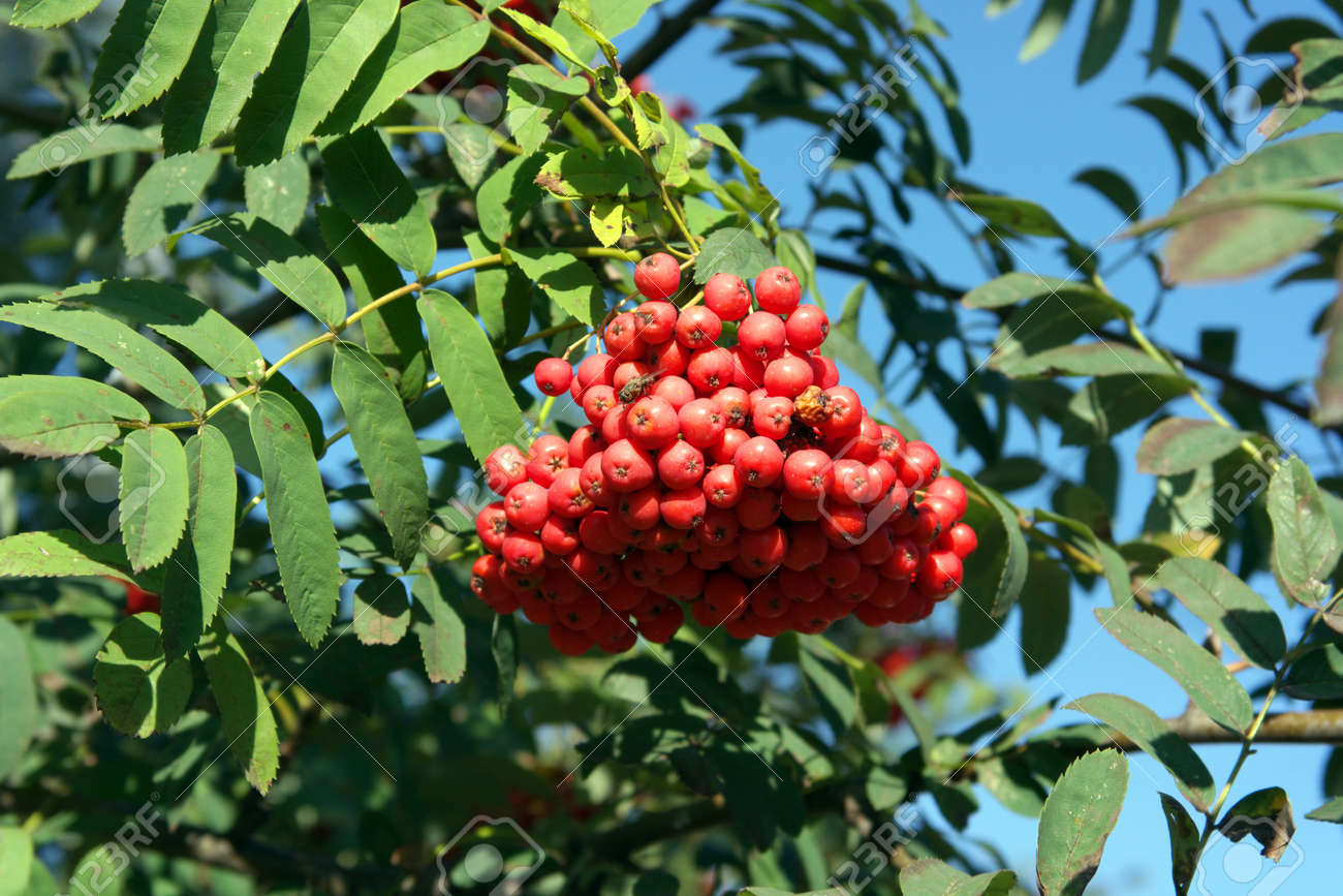 ashberry at dry sunny day Stock Photo - 15096579