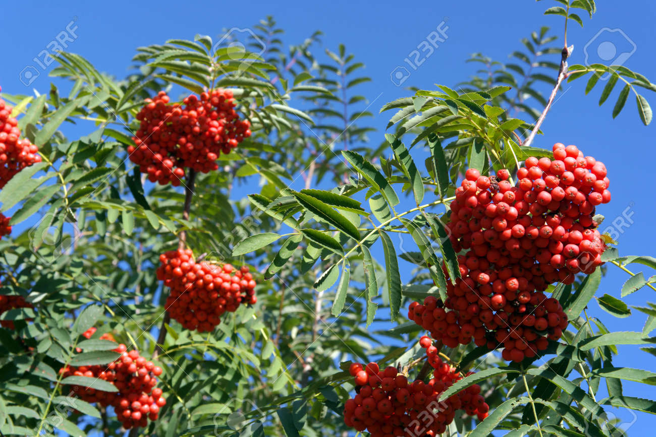 ashberry at dry sunny day Stock Photo - 15146553