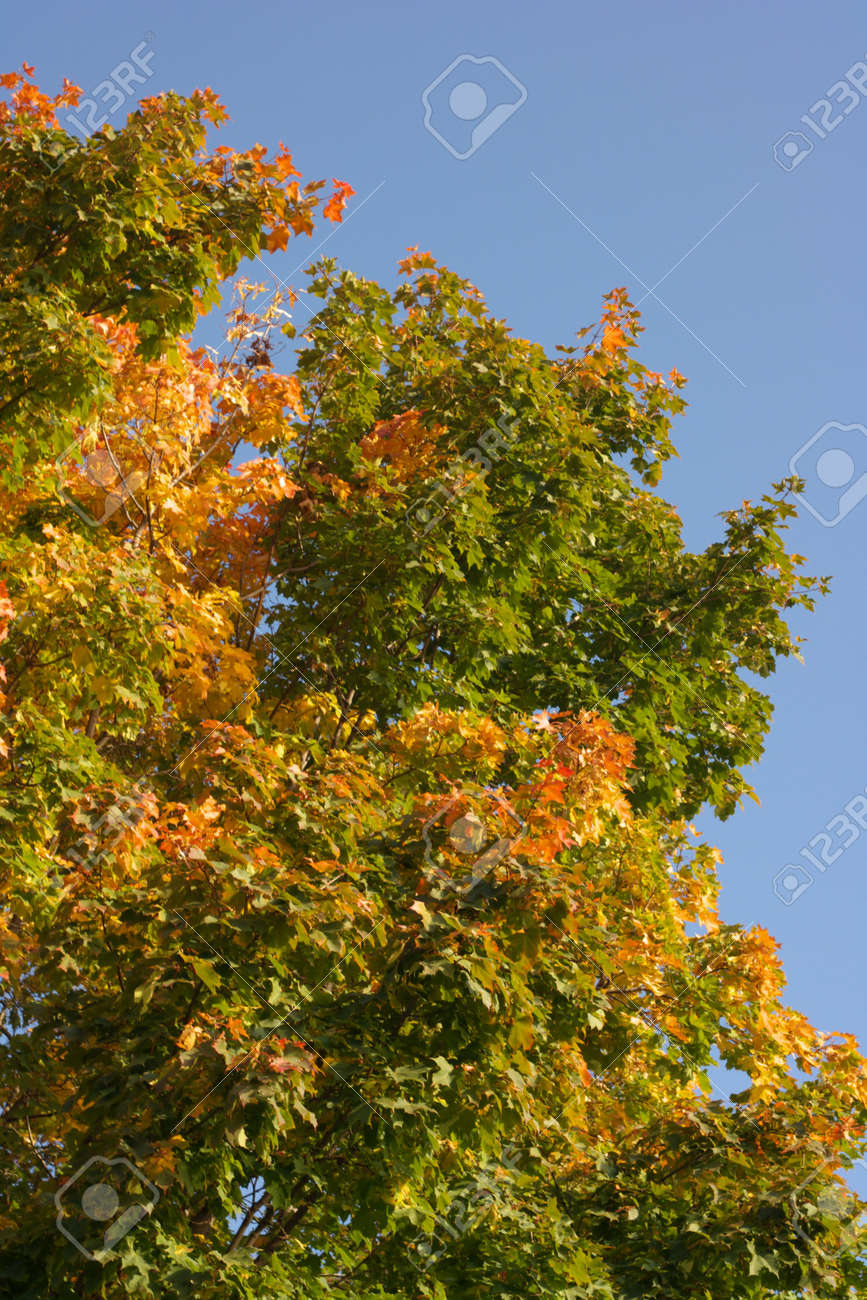 yellow maple leafs on tree Stock Photo - 15393579
