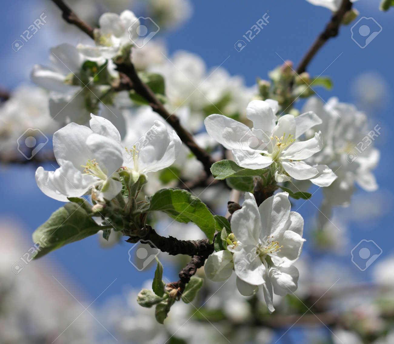 Apple Flower at Spring - 122338907
