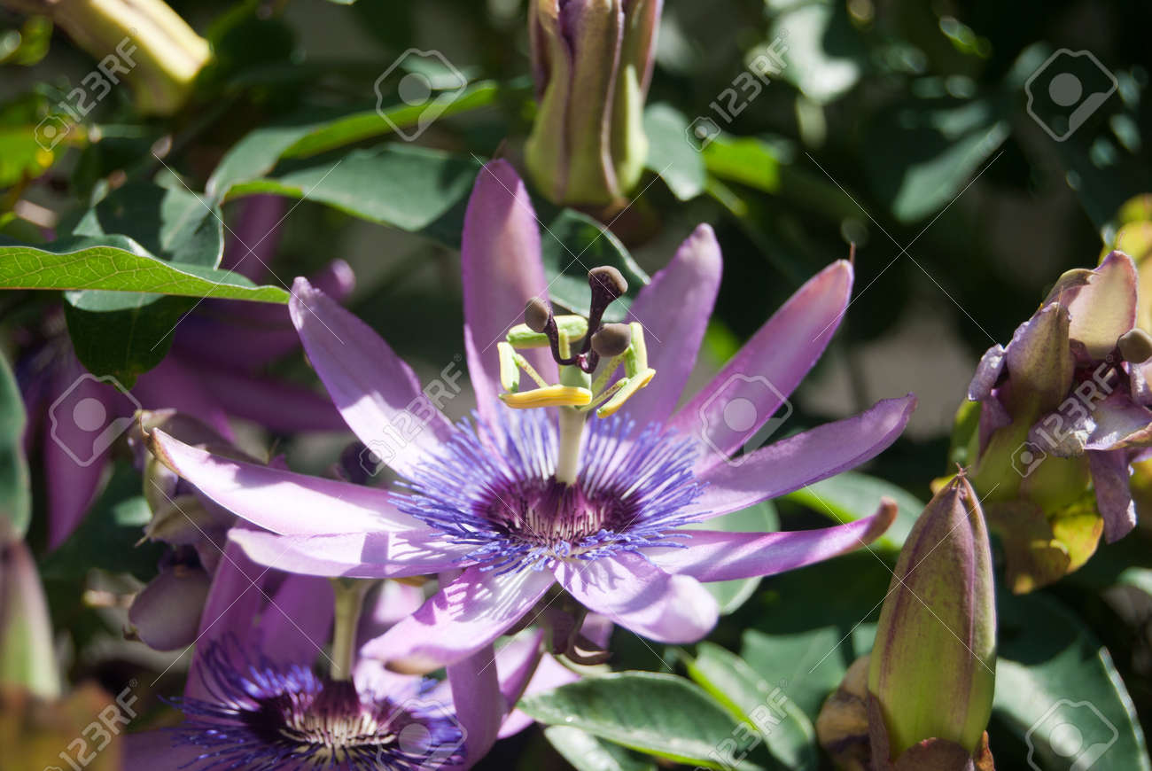 Purple Passion Flower Open To The Sun Stock Photo Picture And