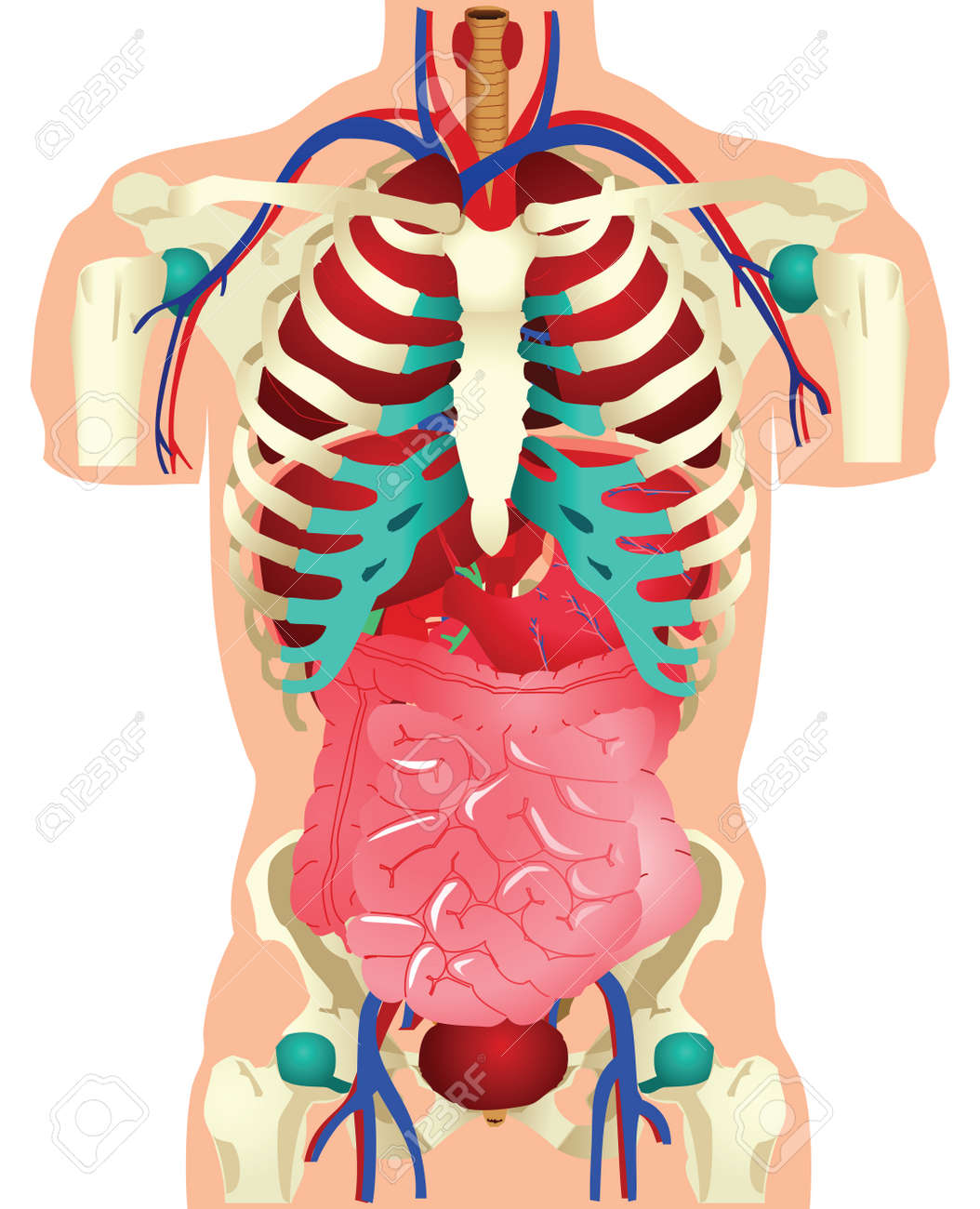 Stock illustration of human organs. Stock Vector - 10477794