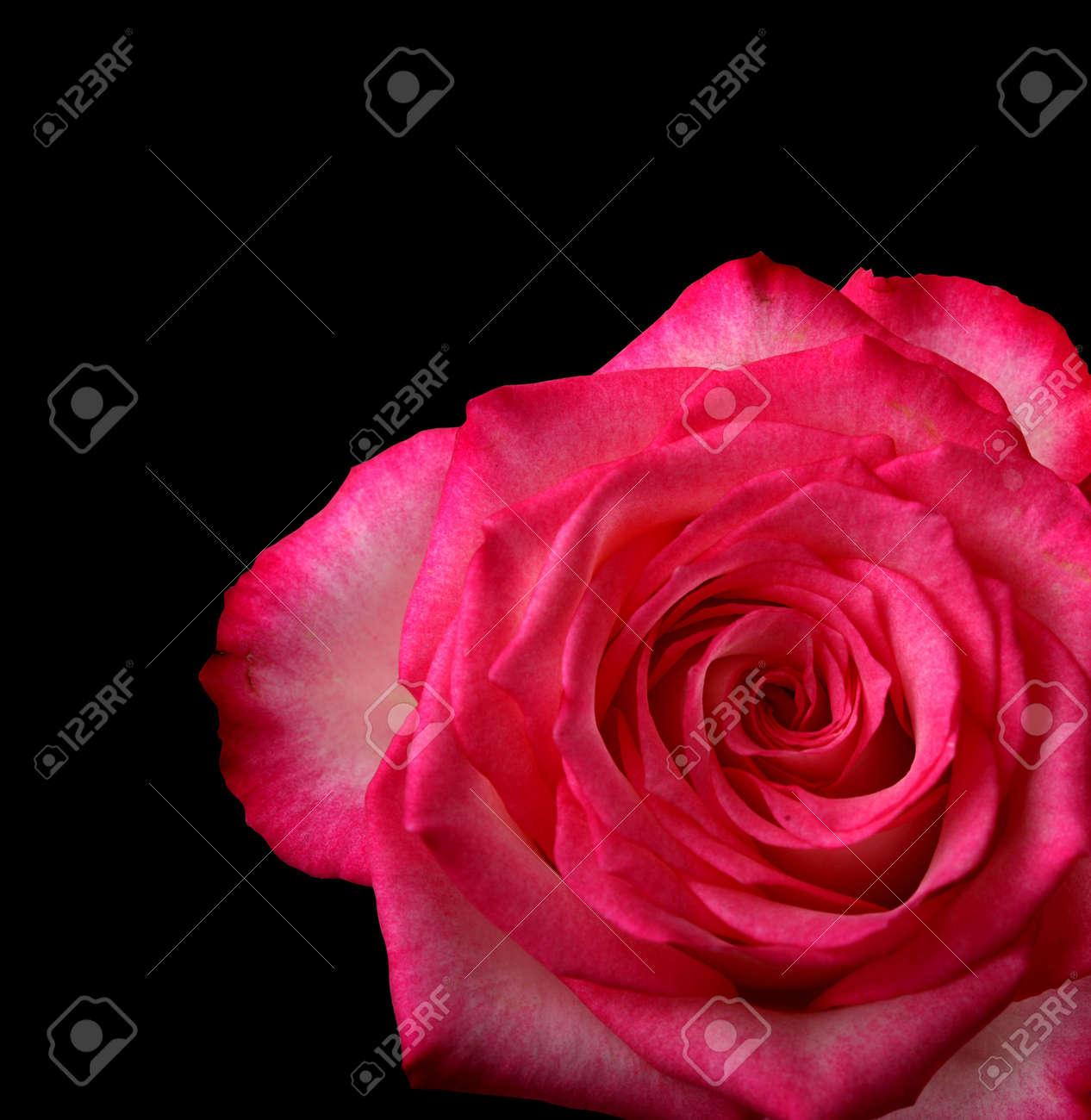 Immagini Stock Rosa Rossa Su Sfondo Nero Image 6260493