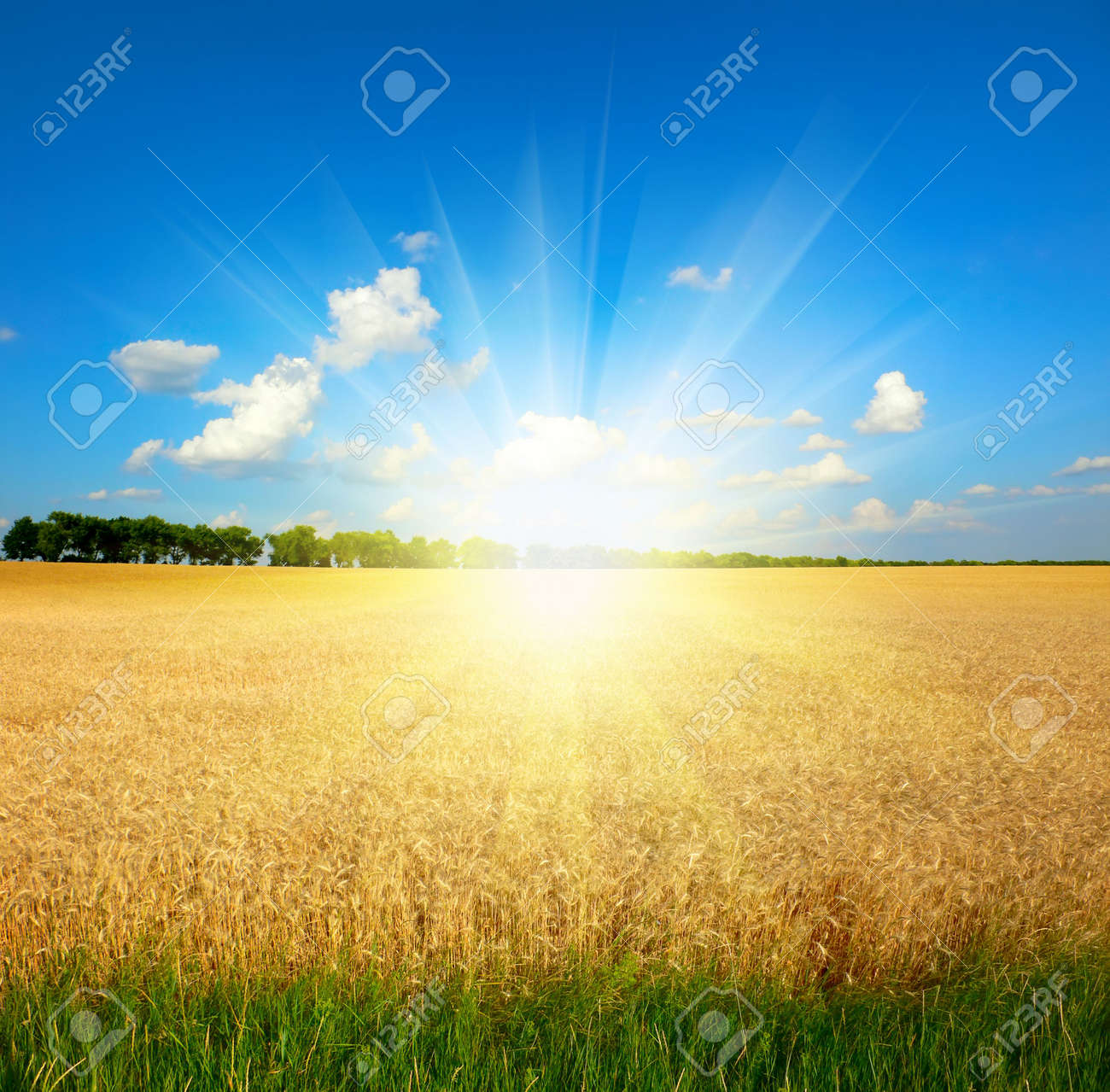 yellow wheat field under blue sky Stock Photo - 6902050