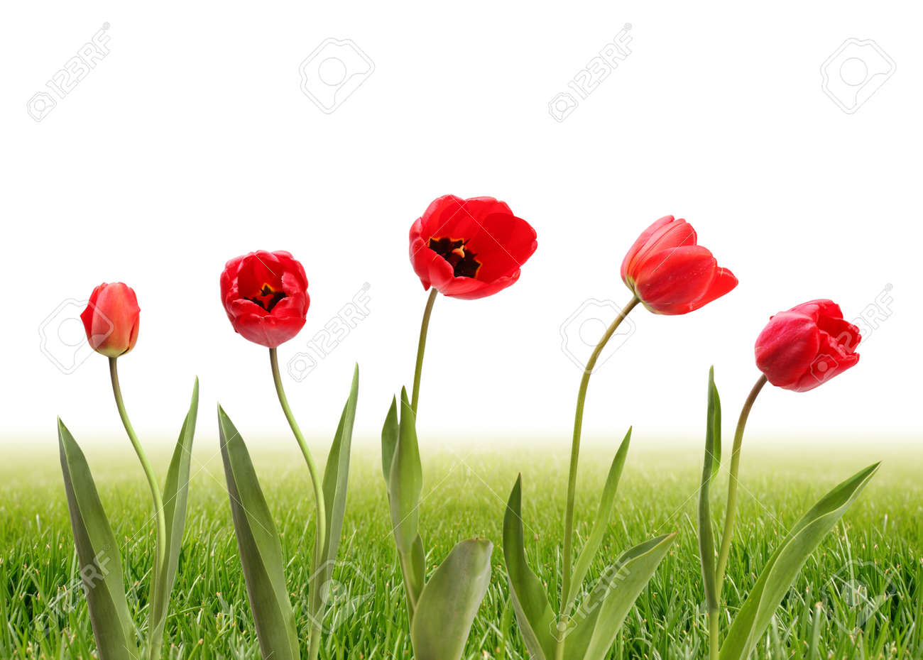 tulip and grass Stock Photo - 8446491
