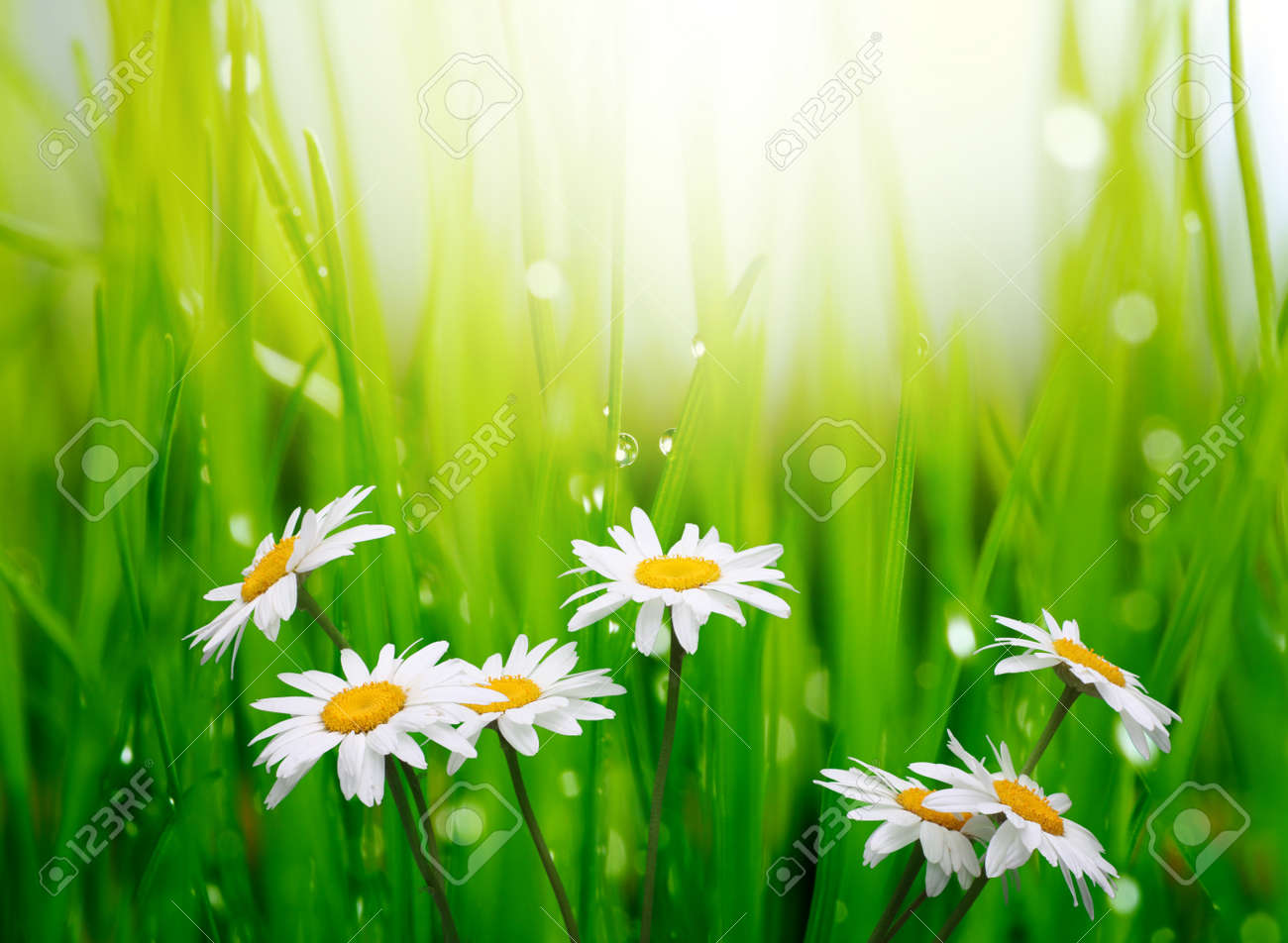 grass field background with flowers. Chamomile In Green Grass Stock Photo - 9239717 Field Background With Flowers A