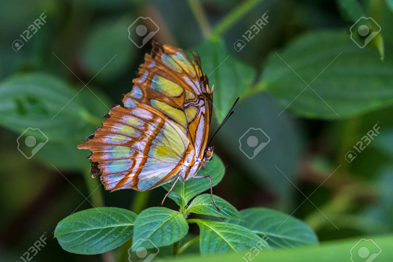 LOT OF 10 REAL BUTTERFLY GREEN SIPROETA STELENES MALACHITE WINGS CLOSED