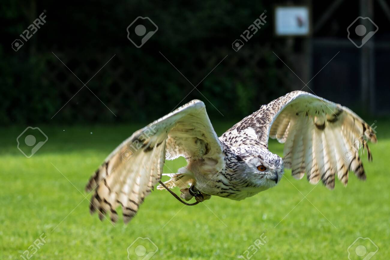 The Siberian eagle owl, bubo bubo sibiricus is the biggest owl in the world. - 122709063